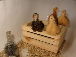 Chicks on crate